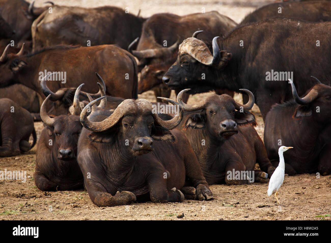 African buffalo (Syncerus caffer) herd resting and a cattle egret (Bubulcus ibis), Lake Manyara National Park, Tanzania - Stock Image