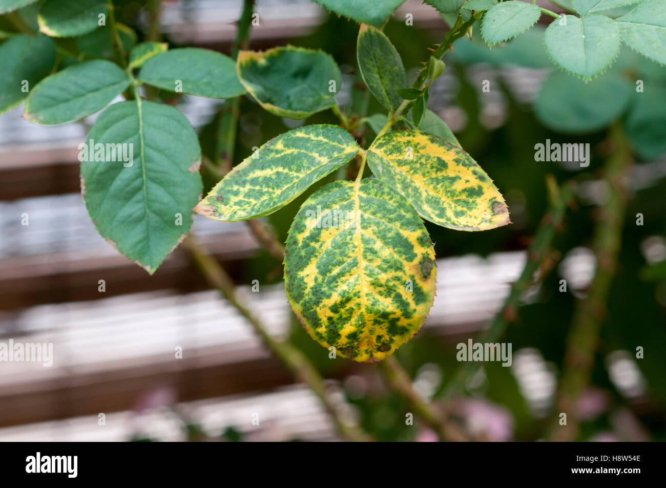 Rose leaf with Mosaic Virus symptoms. Net-like appearance with vein clearing shows infection by complex of virus - Stock Image