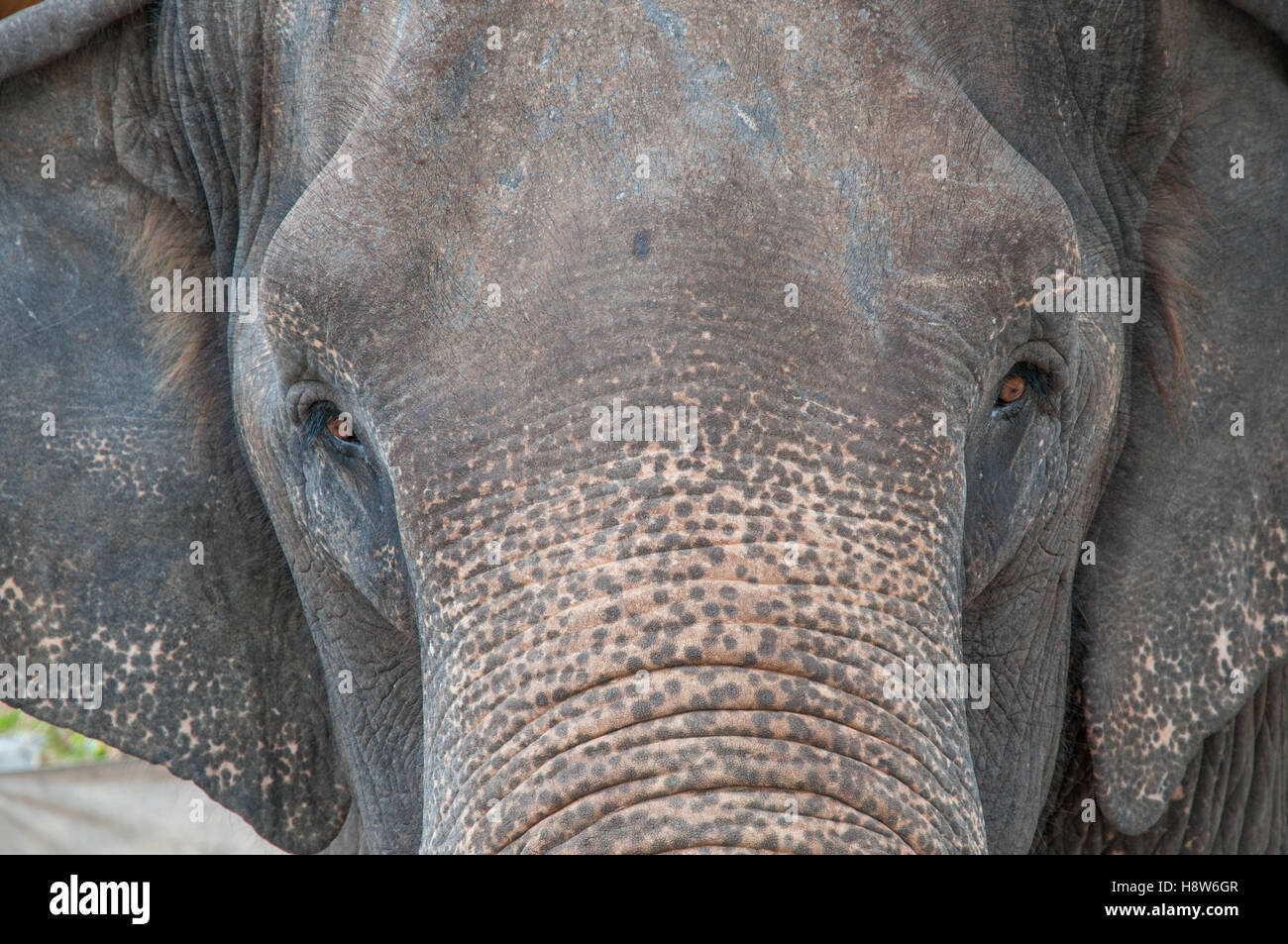Domesticated Indian elephant in Thailand - Stock Image