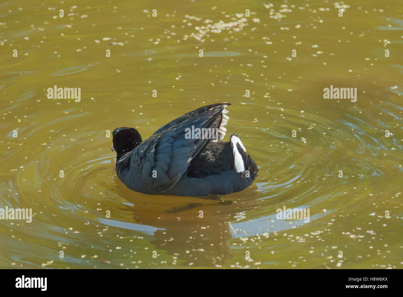 An American coot, Fulica americana, swimming in a pond and showing off his white tail feathers in an aggressive - Stock Image