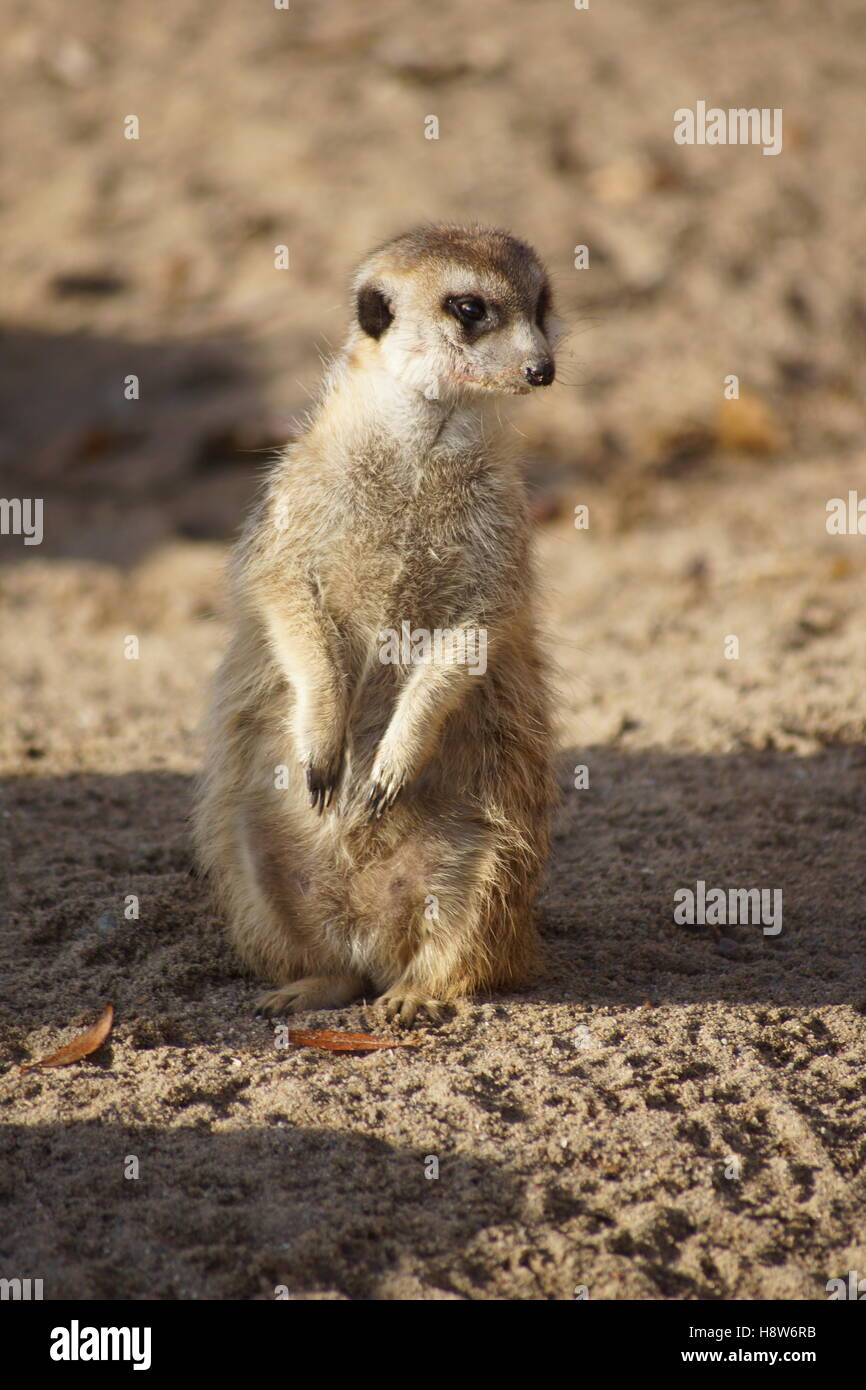 meerkat in the sun - Stock Image