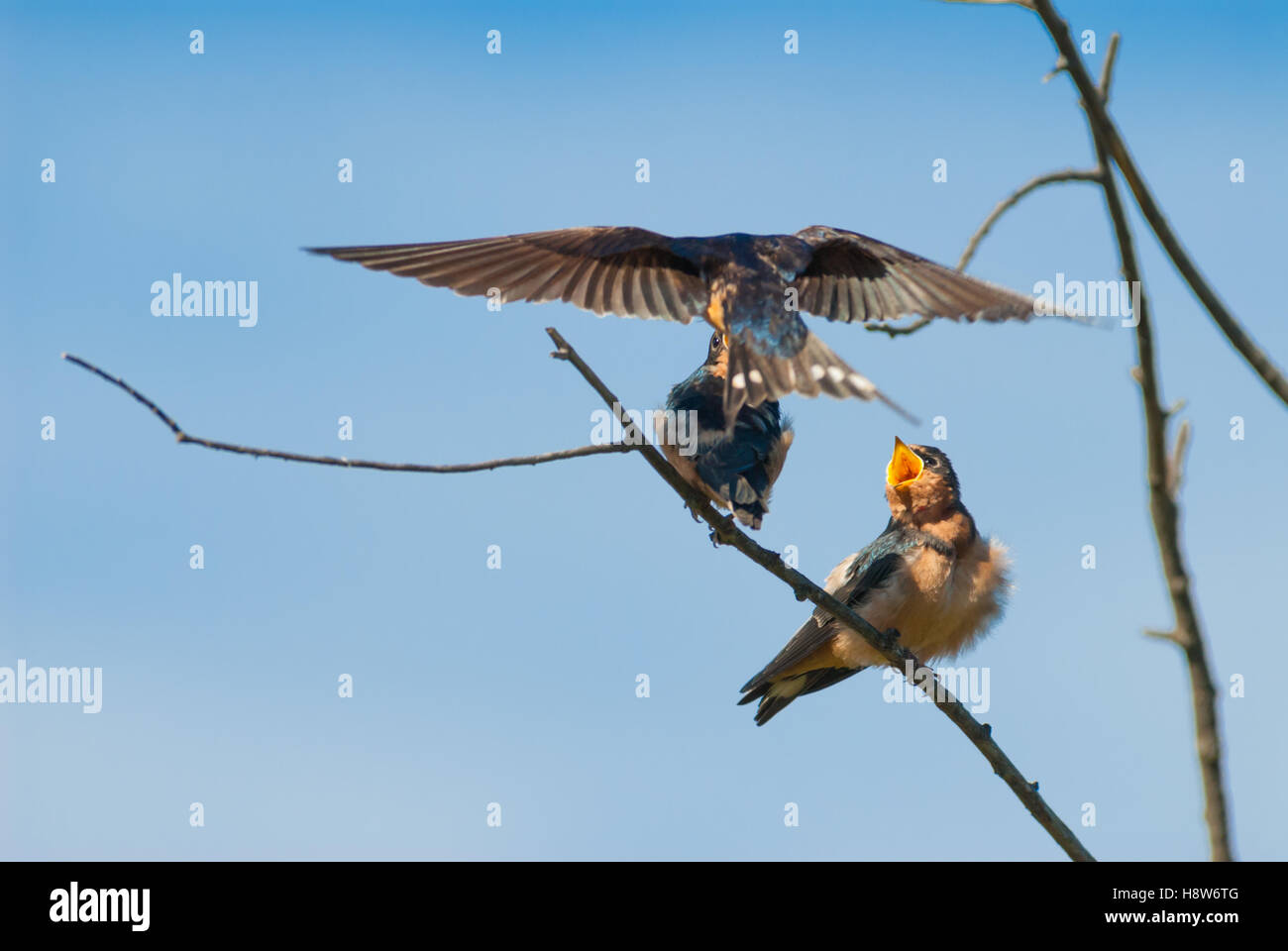 Barn swallow fledglings, Hirundo rustica, being fed by a parent in the Lois Hole Provincial Park, Alberta, Canada - Stock Image