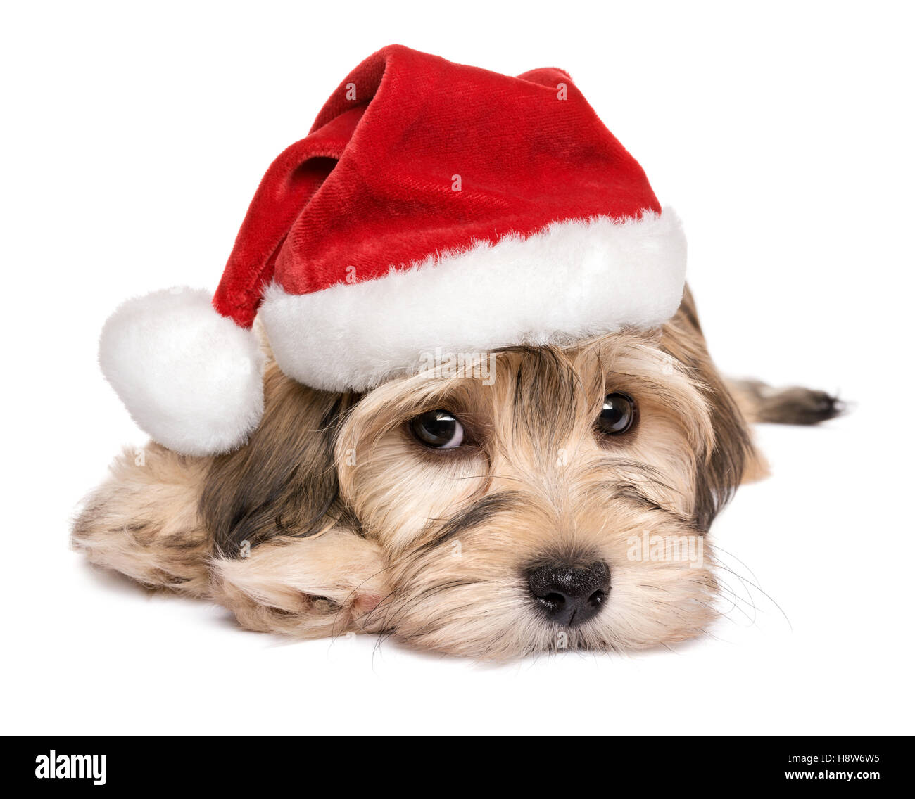 Close-up of a cute Bichon Havanese puppy dog in Christmas hat - Stock Image