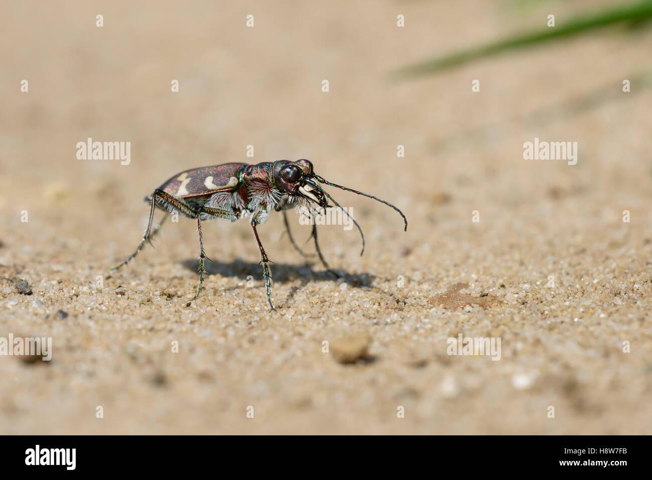 Duenen Sandlaufkaefer, Cicindela hybrida, Northern Dune Tiger Beetle - Stock Image
