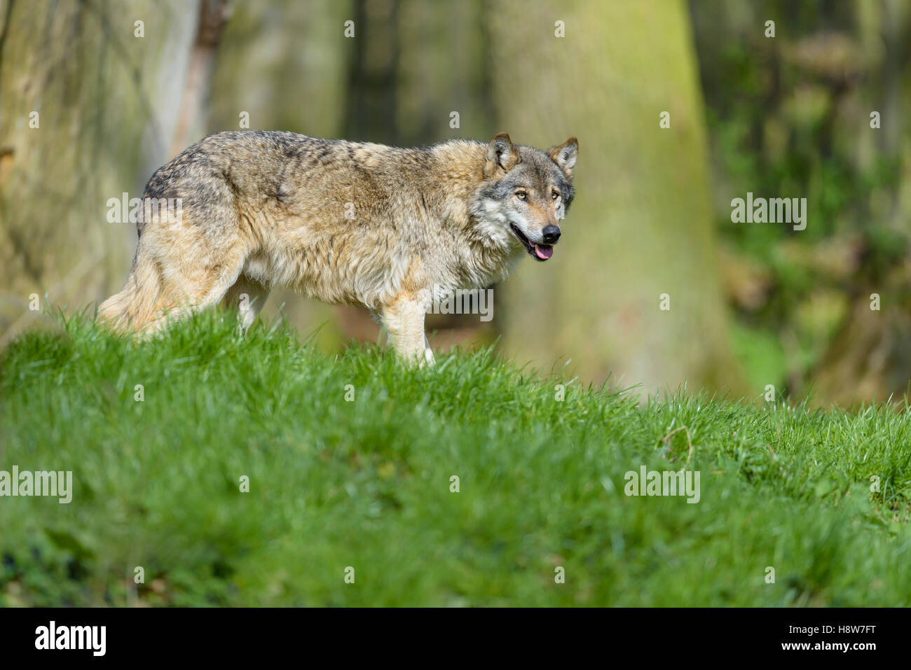 Europaeischer Wolf, Canis lupus, European grey wolf Stock Photo