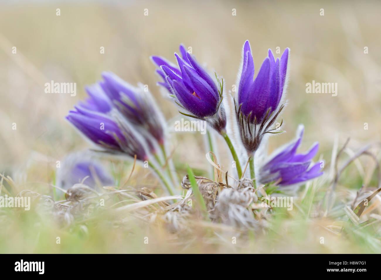 Gewoehnliche Kuechenschellen, Pulsatilla vulgaris, Pasque flower - Stock Image