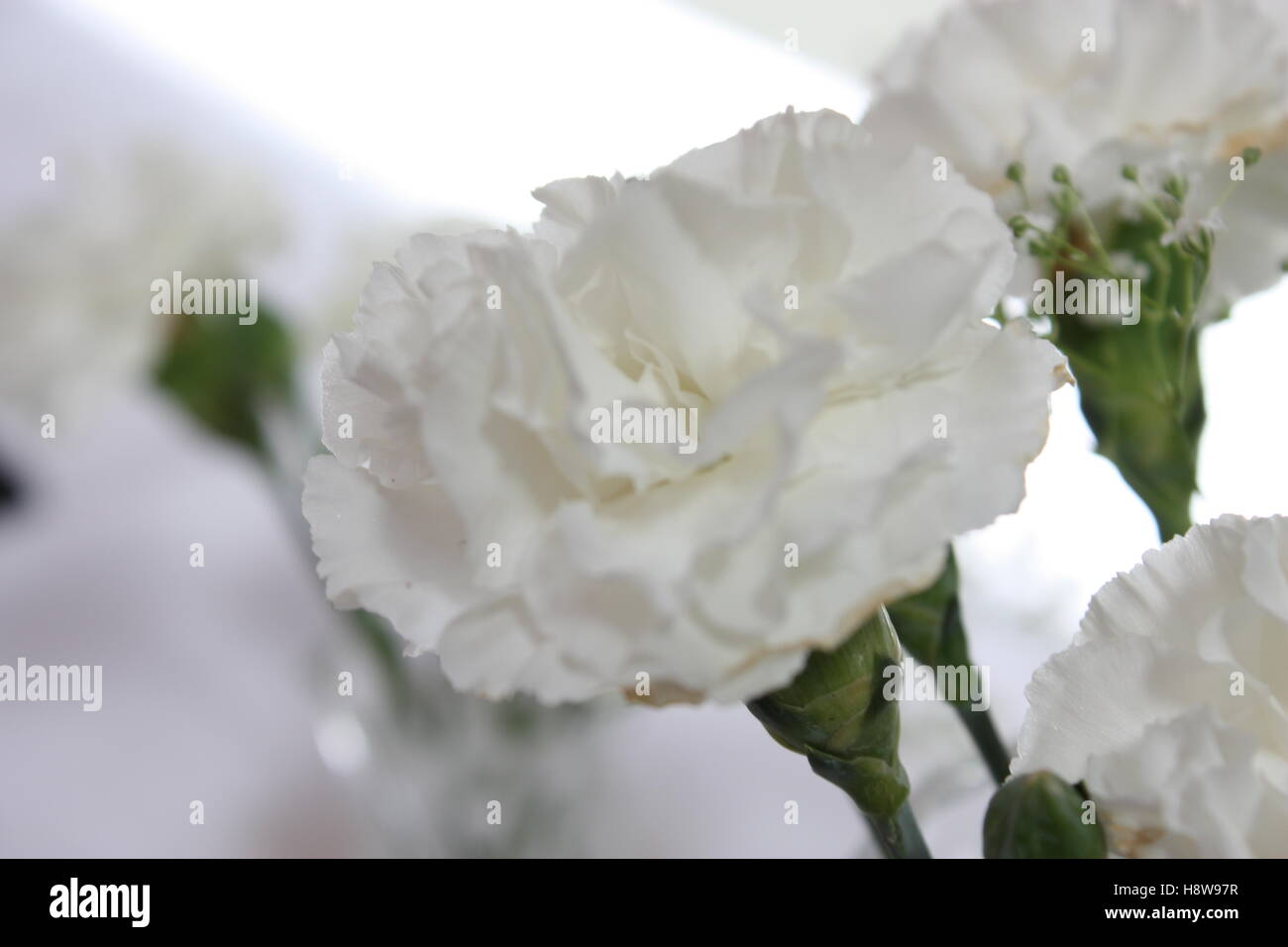 White Carnation Flower Stock Photos White Carnation Flower Stock