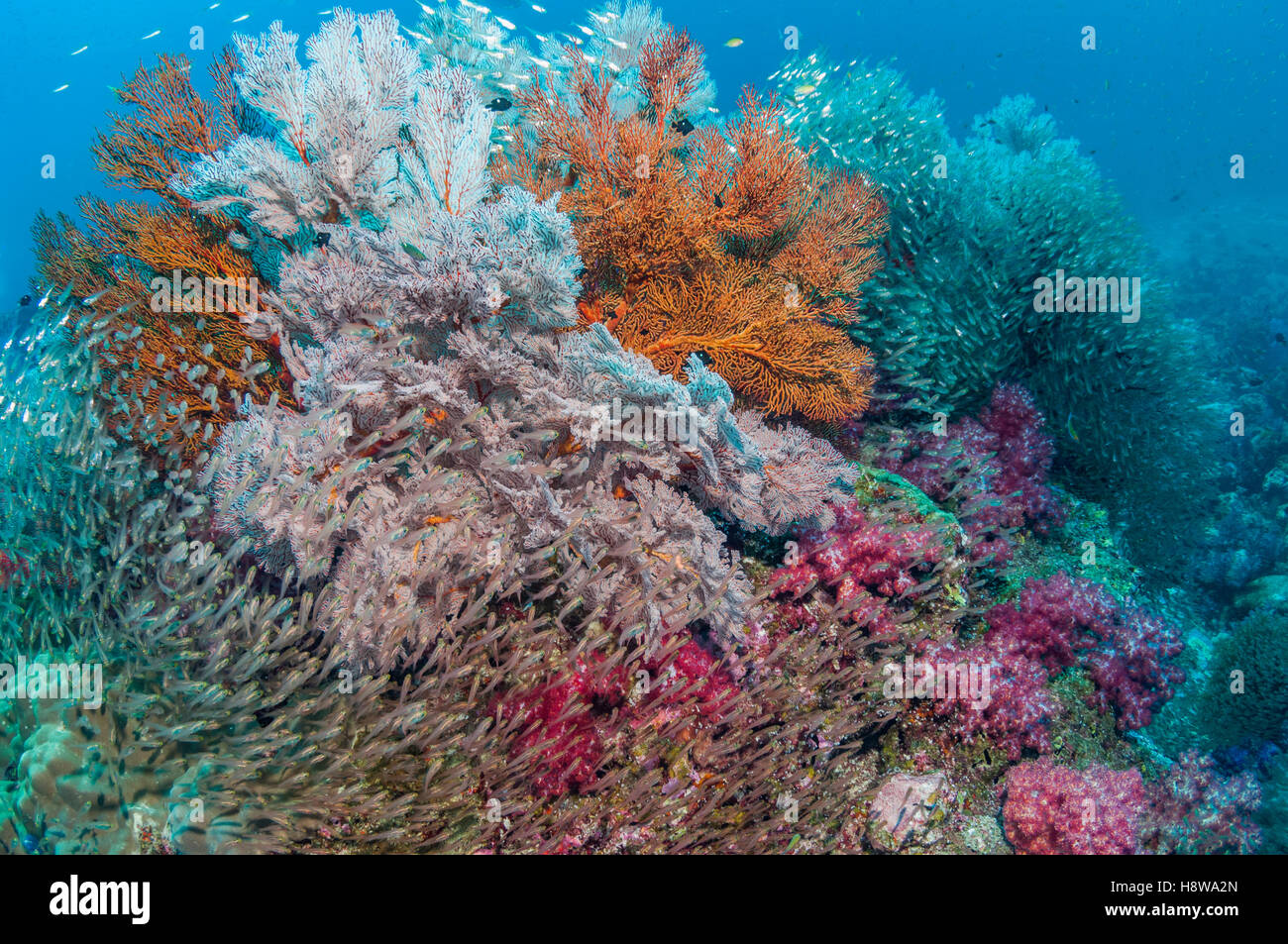 Gorgonian sea fans [Melithaea sp.] and soft corals [Dendronephthya sp.] with a large school of Pygmy sweepers - Stock Image