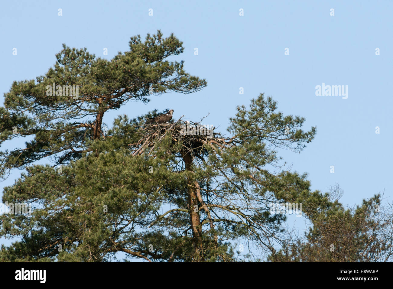 Western Osprey / Fischadler ( Pandion haliaetus ), pair, breeding, nesting high up in a pine tree, together on their - Stock Image
