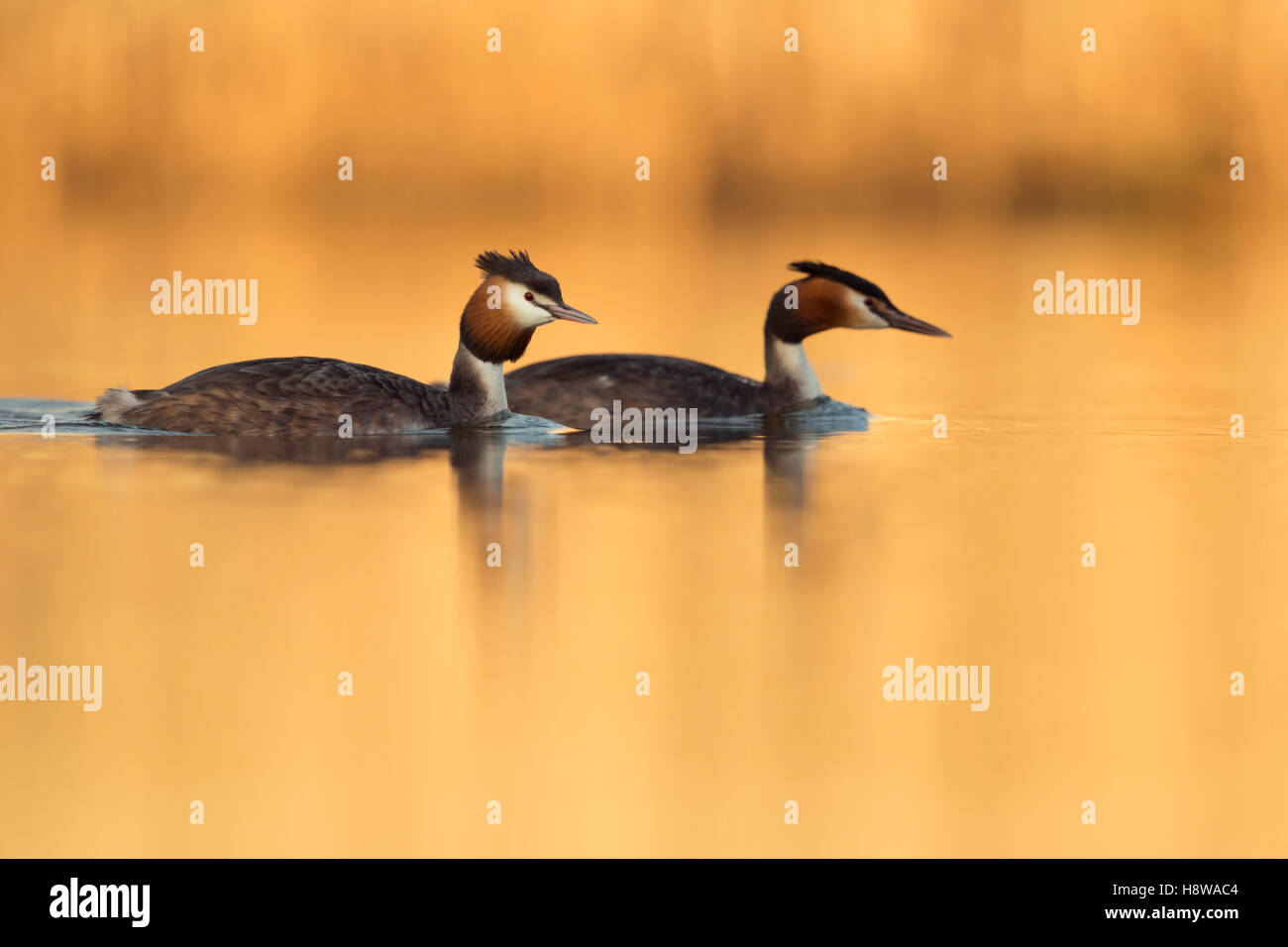 Great Crested Grebes ( Podiceps cristatus ), pair in breeding dress, swimming together on calm water, golden evening - Stock Image