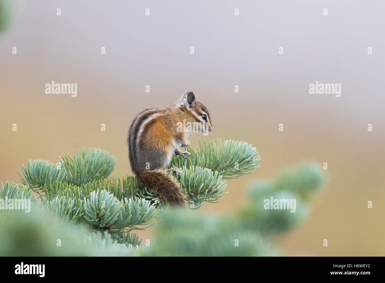 Olympic Chipmunk (Tamias amoenus caurinus) on a fir tree in Olympic National Park, Washington State, USA - Stock Image