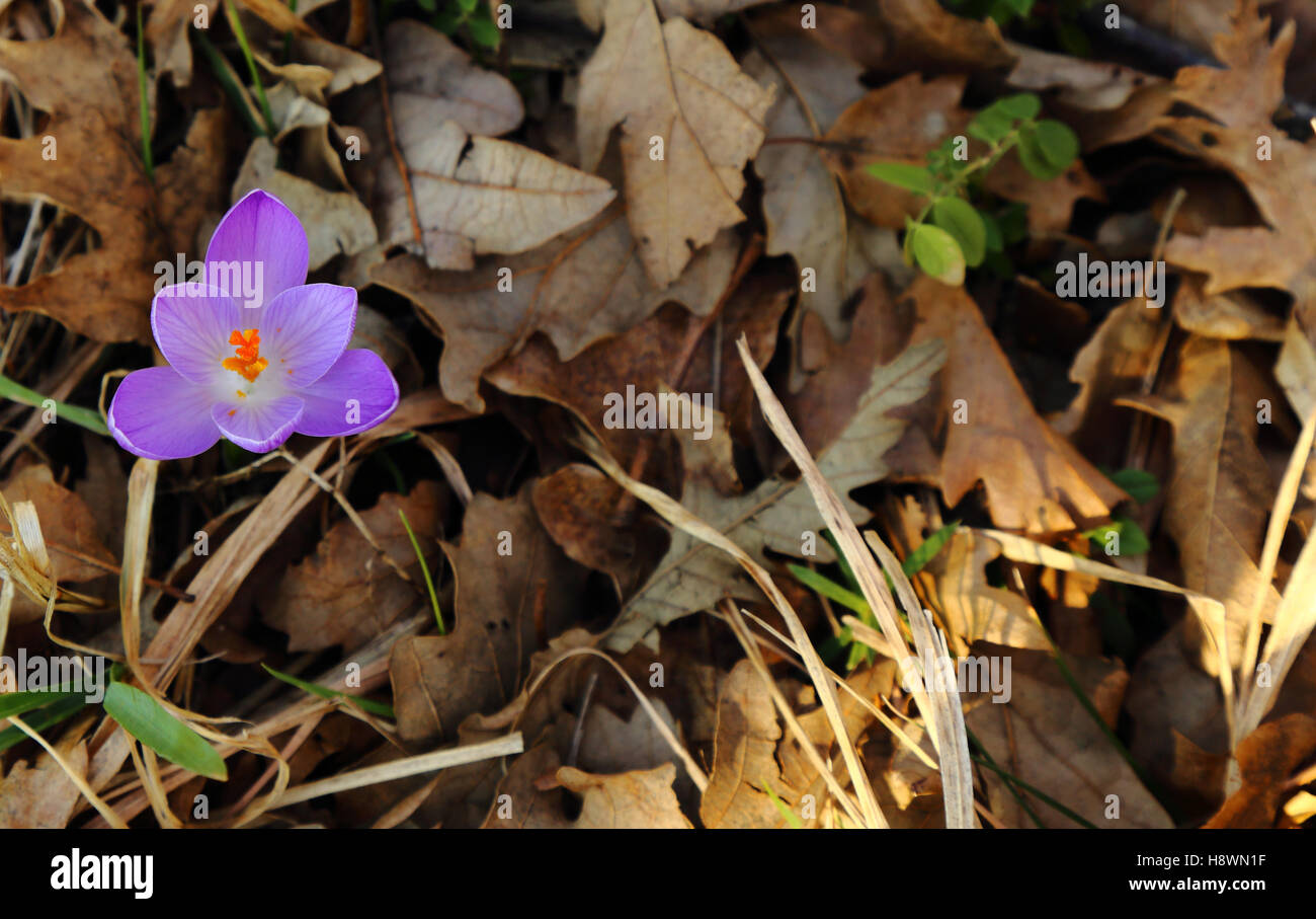 Crocus longiflorus, an undergrowth between the dry leaves Stock Photo