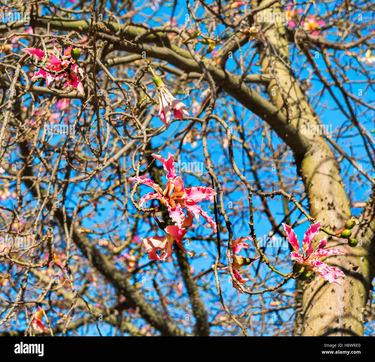 Flower in autumn of Floss Silk tree or Ceiba Speciosa , Garden Jardines del Real Viveros in Valencia, Spain Stock Photo