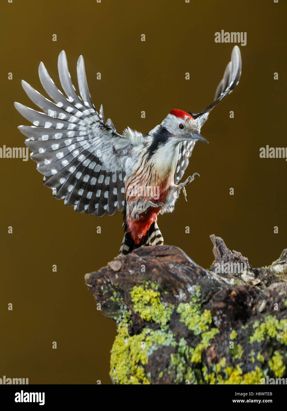 Middle Spotted Woodpecker (Dendrocoptes medius) landing on stump, Spain Stock Photo