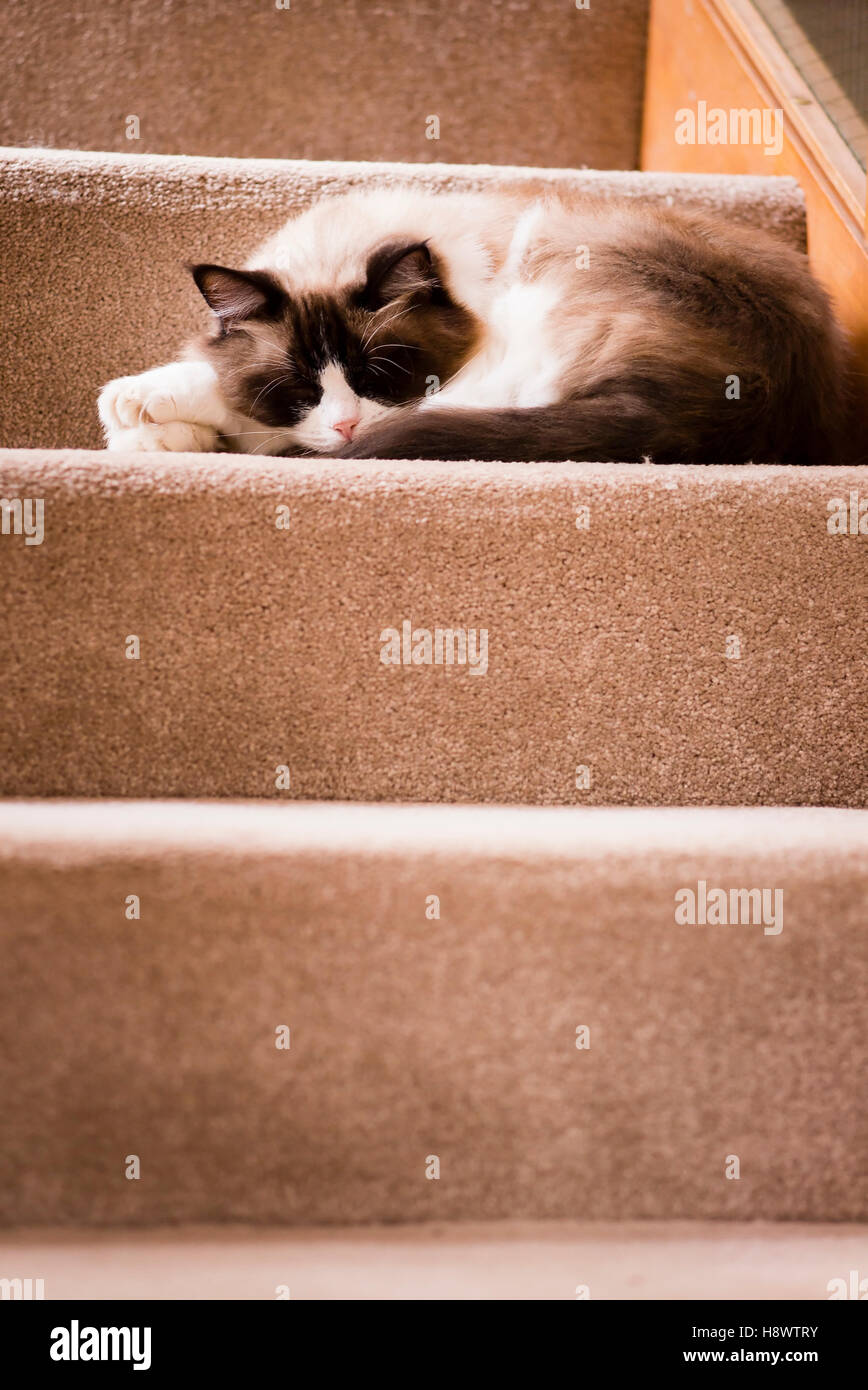 A Ragdoll cat chose to sleep on the stairs while occupants were out - Stock Image