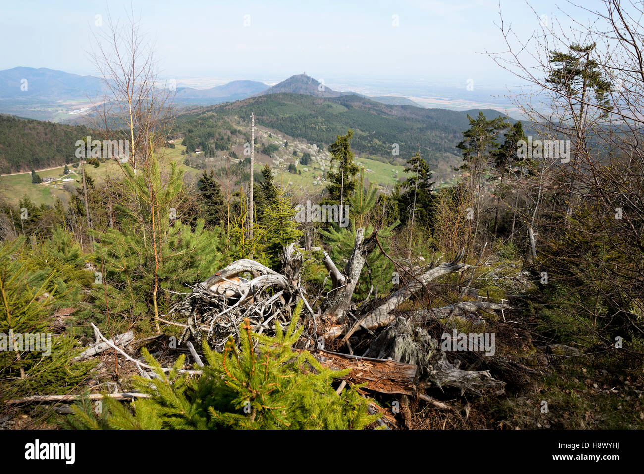 Forest destroyed by the 1999 storm - Vosges France Stock Photo