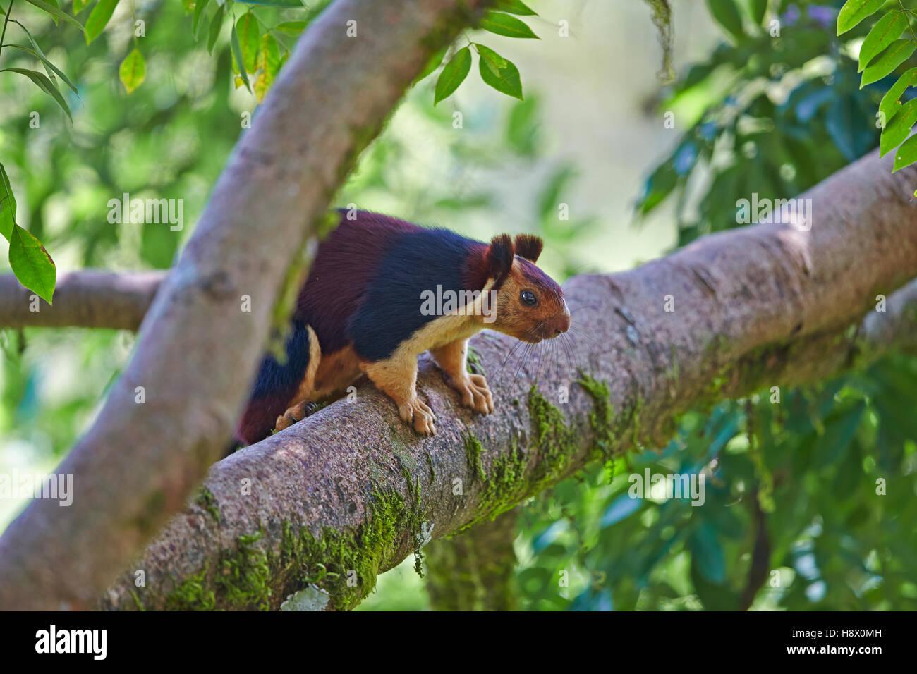 Indian giant squirrel on a branch - Anaimalai Mountain India Stock Photo