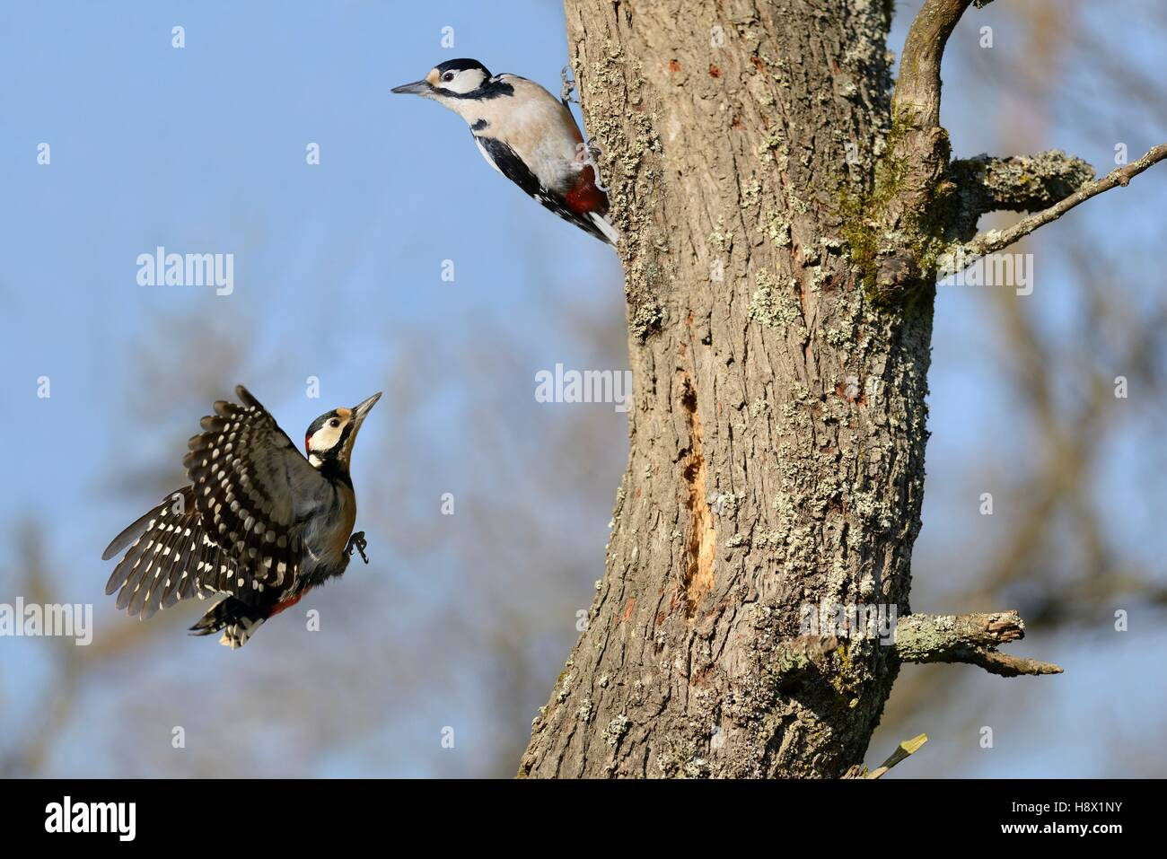 Pursuit of a pair of Great Spotted Woodpeckers (Dendrocopos major) 26 January 2016 Northern Vosges Regional Nature - Stock Image
