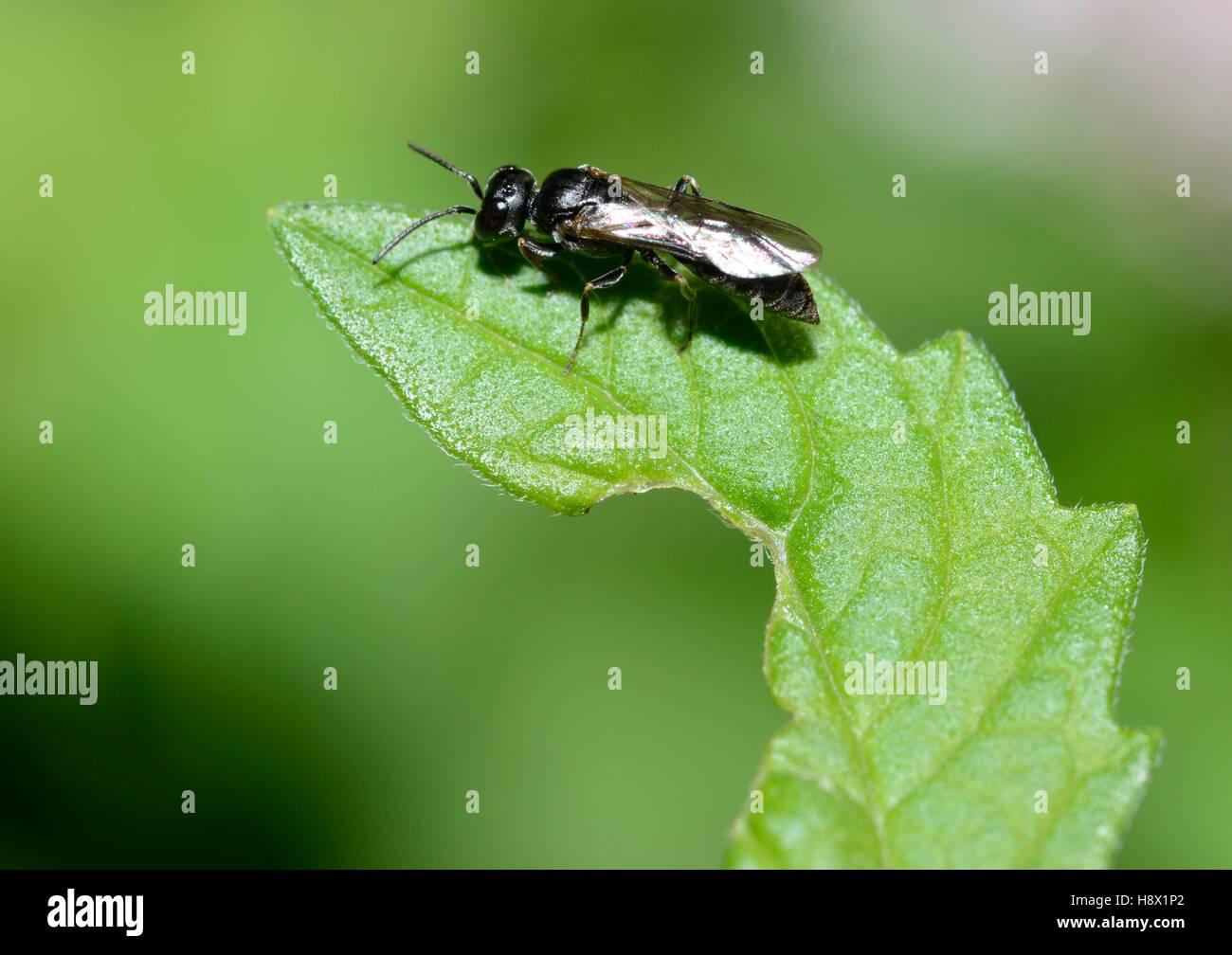 Melancholy Black Wasp (Diodontus tristis) 10 September 2015 Northern Vosges Regional Nature Park France ranked World - Stock Image
