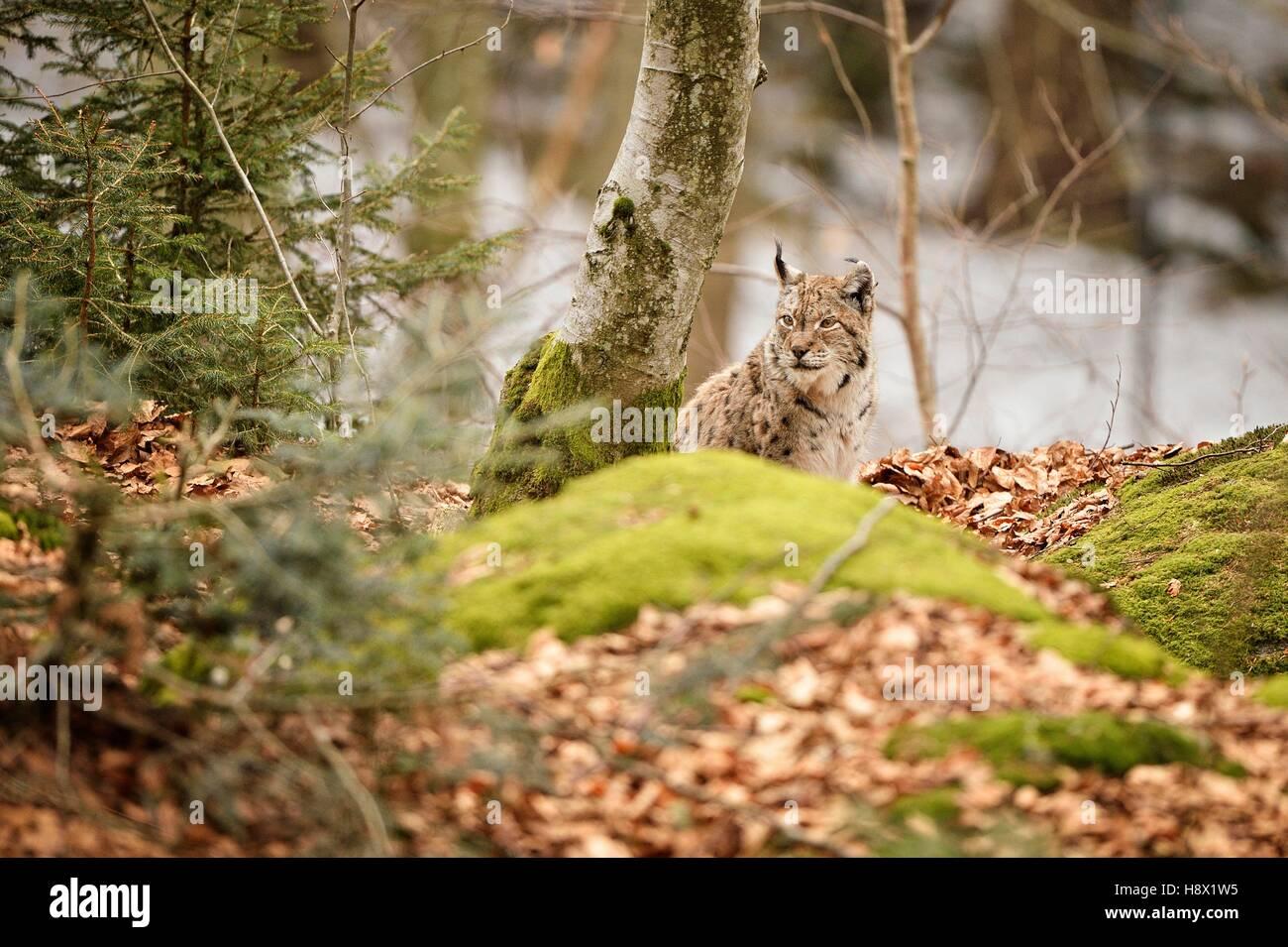 Eurasian lynx sitting in forest, Bayerischer Wald Park; Germany Stock Photo
