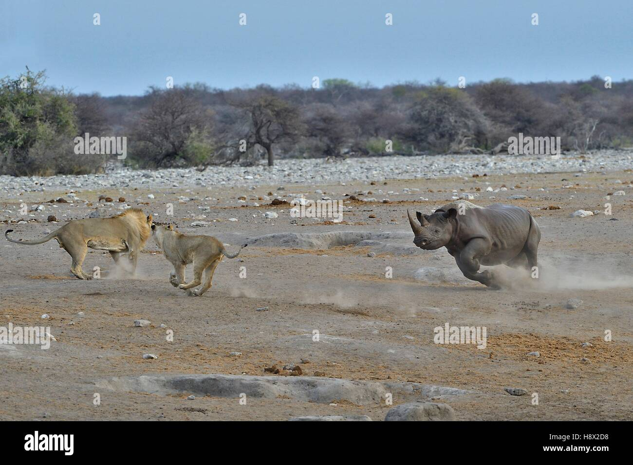 This Black Rhino has stumbled into a cavity and tipped into the water point. After many difficulties given the apic - Stock Image