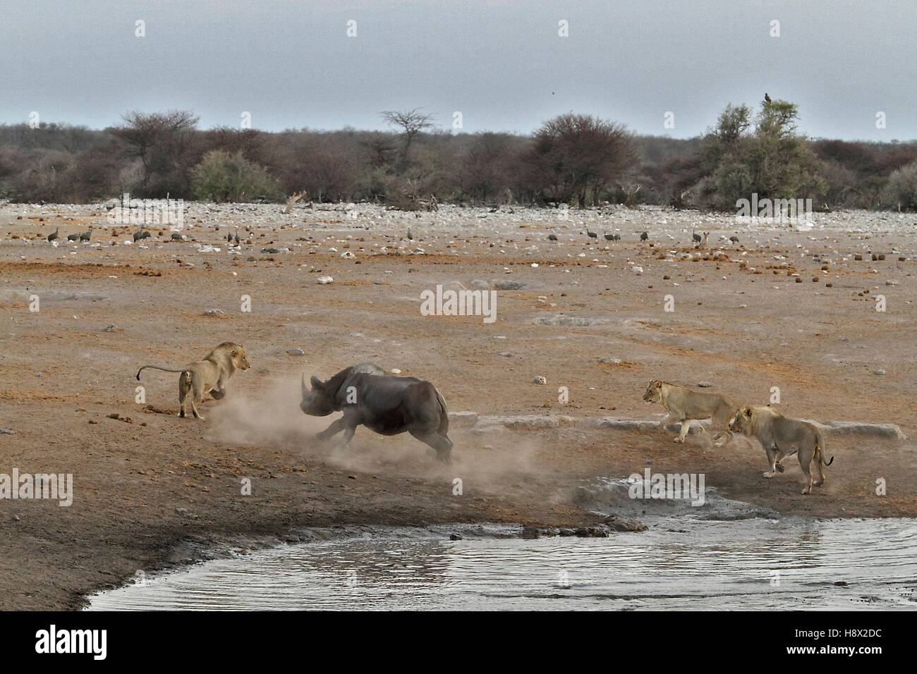 This Black Rhino has stumbled into a cavity and tipped into the water point. After many difficulties given the sheer - Stock Image