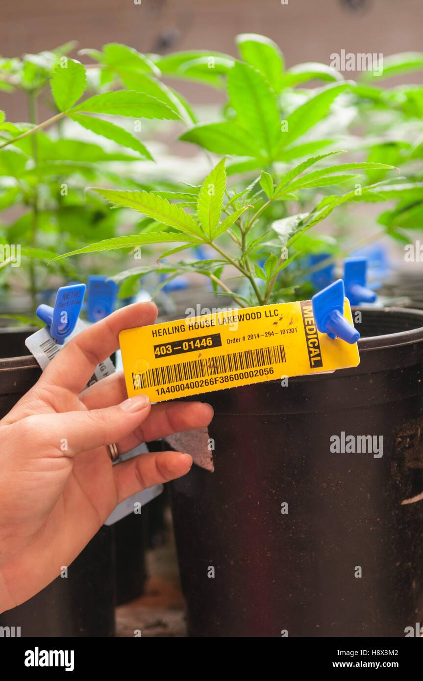 Every marijuana plant is labeled and catalogued from start to finish at commercial grow. Denver, CO - Stock Image
