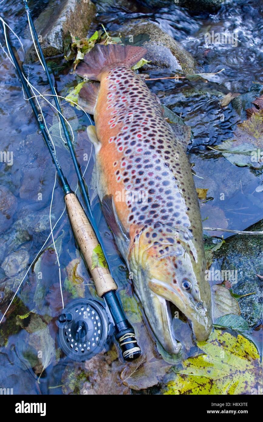 Brown trout (Salmo trutta fario), Fly Fishing, Haut Rhin, France Stock Photo