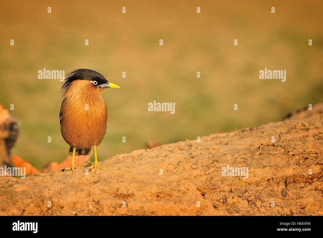 Brahminy Starling (Sturnia pagodarum) on ground, Bharatpur, India - Stock Image
