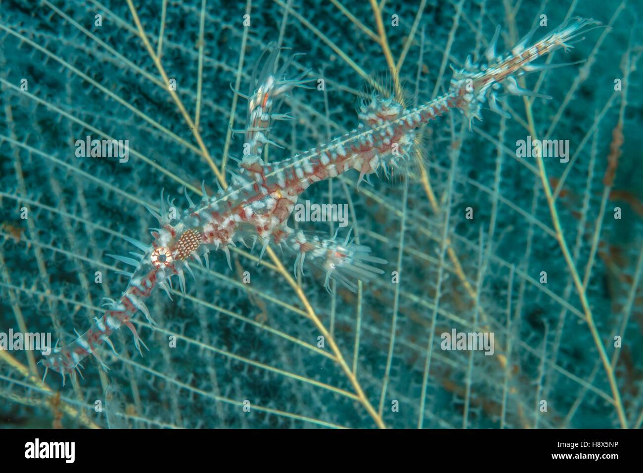 Harlequin ghost pipefish (Solenostomus paradoxus), Bali, Indonesia - Stock Image