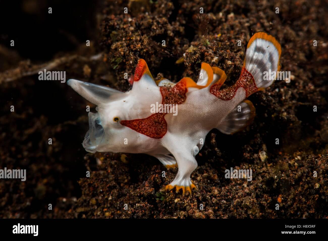 Warty frogfish (Antennarius maculatus), Bali, Indonesia - Stock Image
