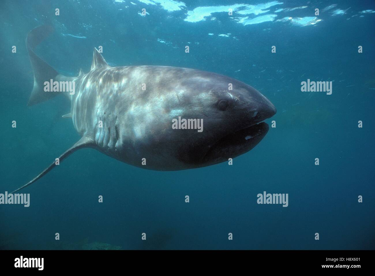 megamouth shark megachasma pelagios moves in open ocean stock