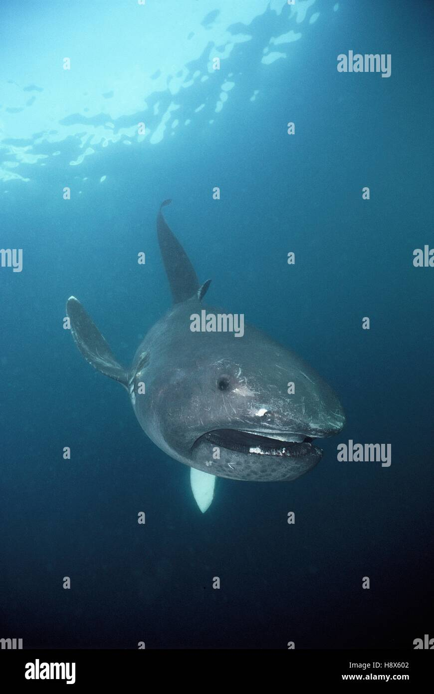 megamouth shark megachasma pelagios california pacific ocean