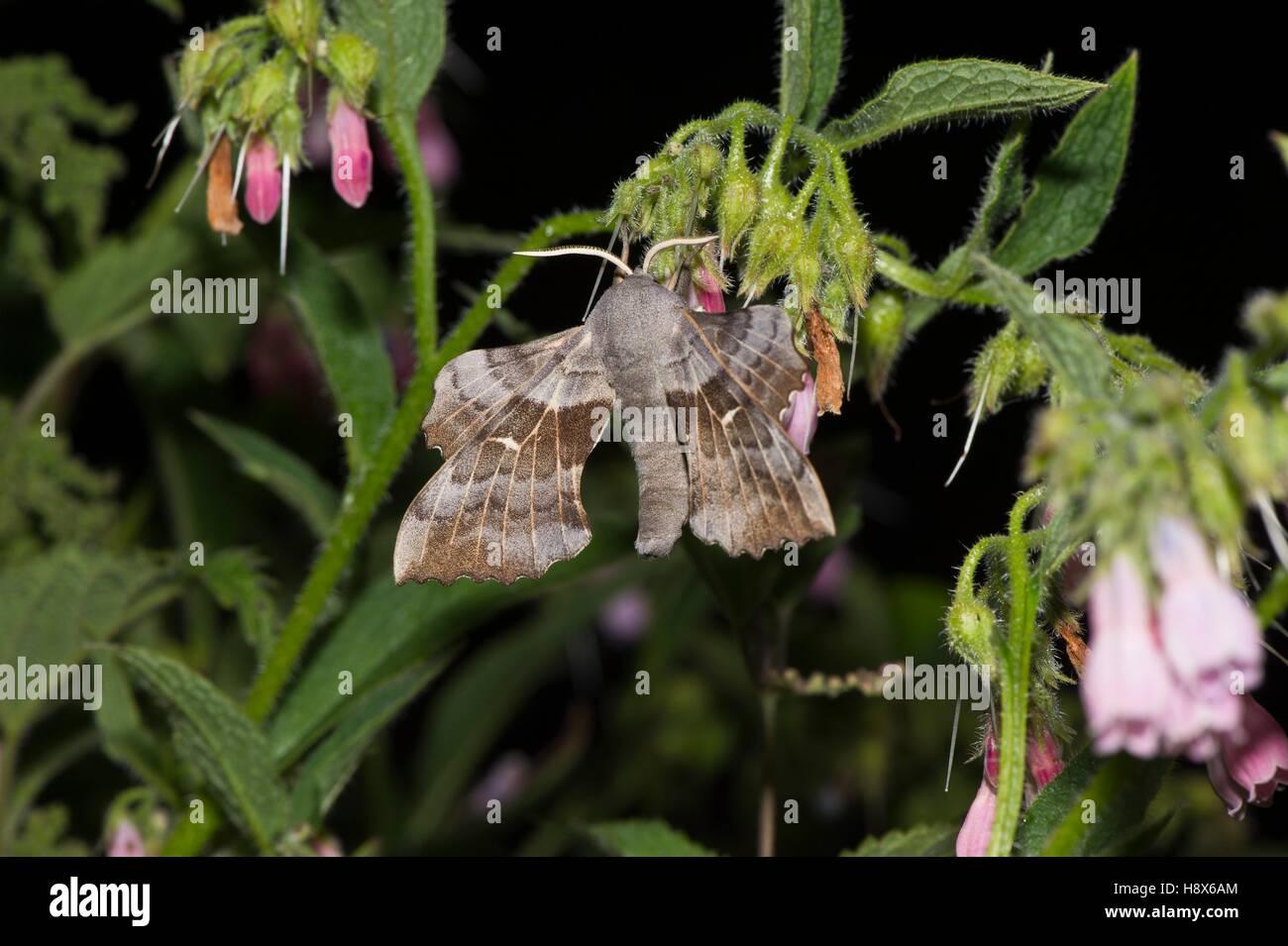 Poplar Hawk-moth (Laothoe populi). Kværkeby mose, Denmark in July - Stock Image