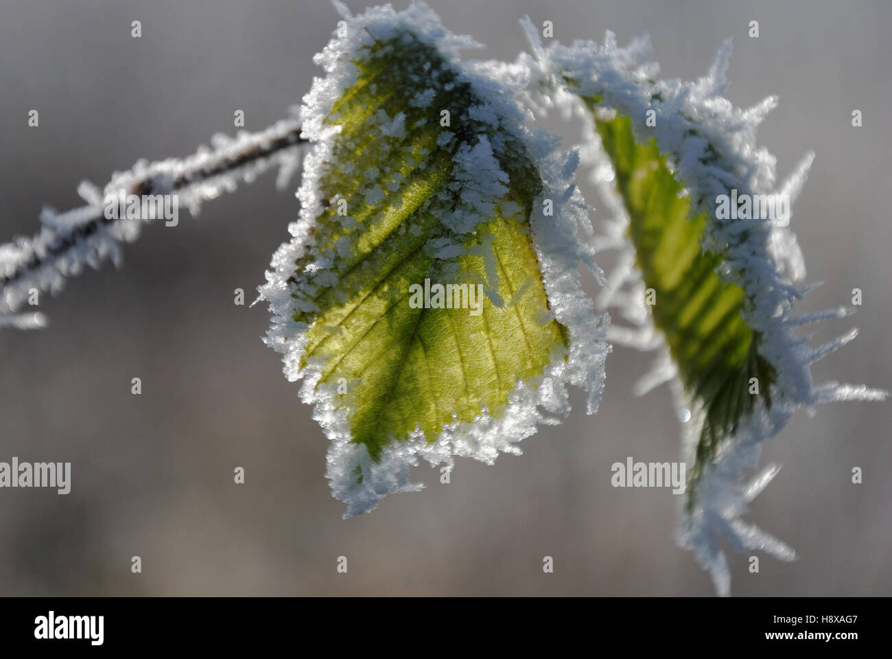 Grean leaves covered with ice cristals - Stock Image
