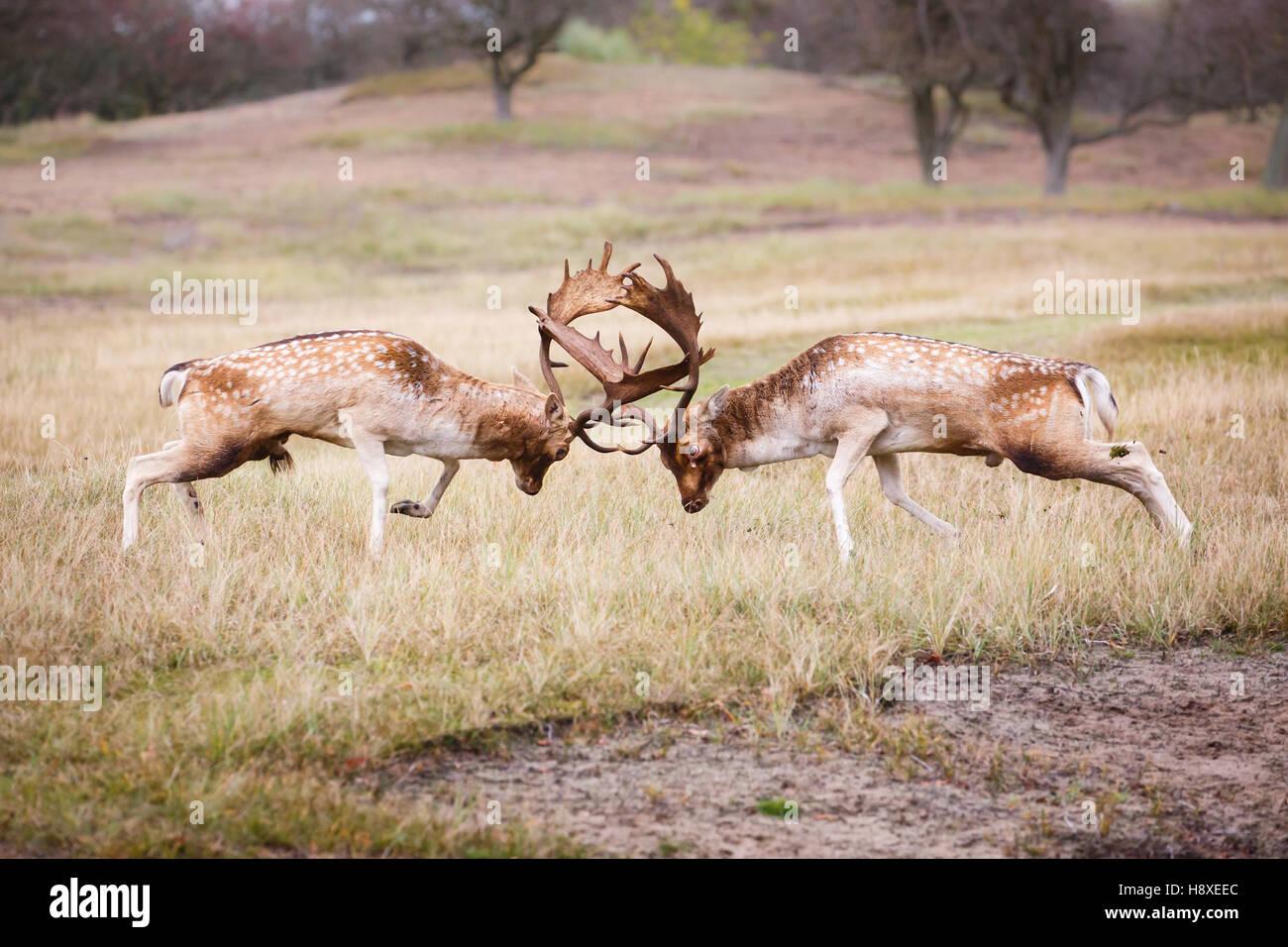 two fallow deer bucks fighting during the rutting season - Stock Image