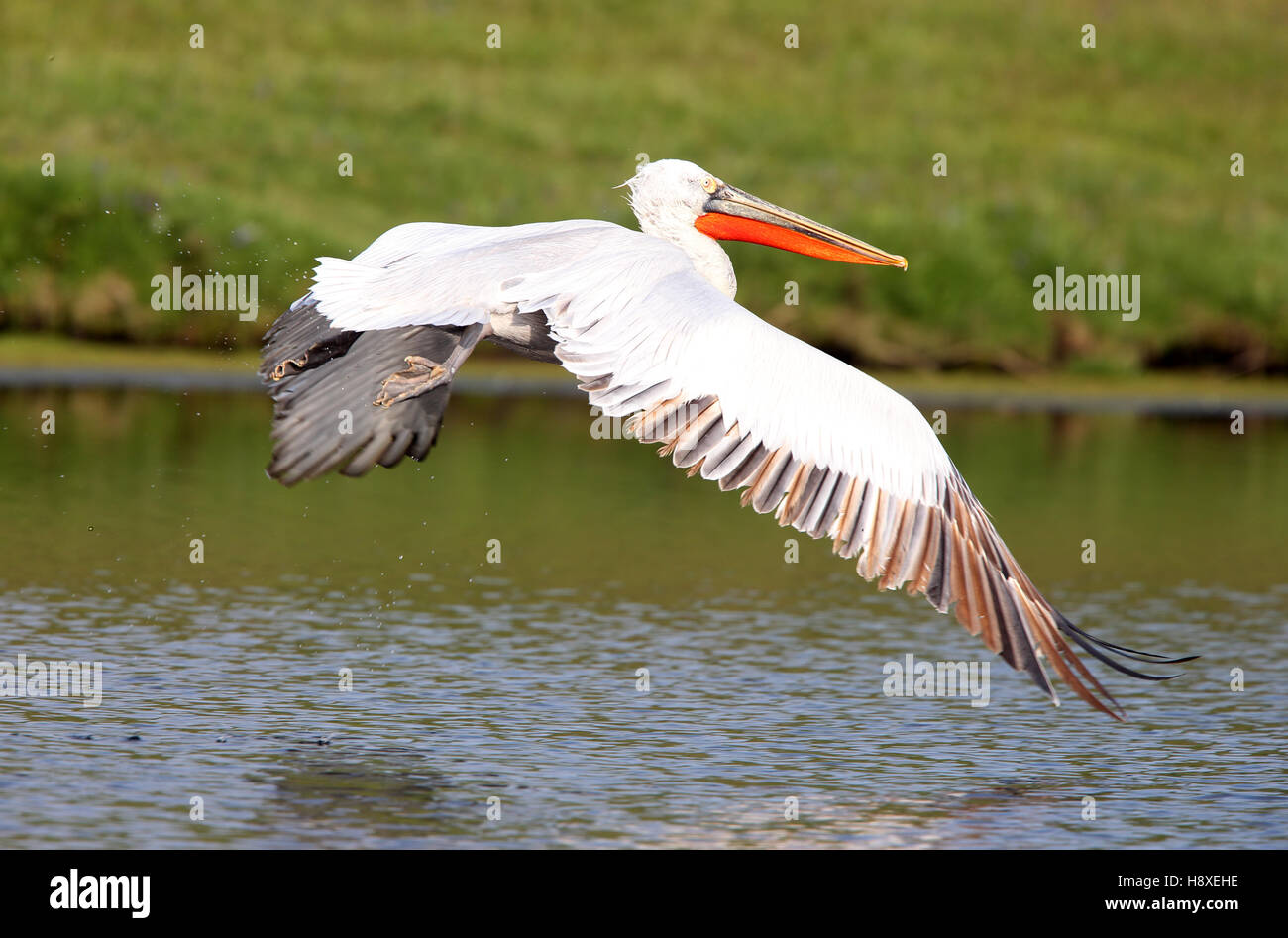 Dalmatian Pelican (Pelecanus crispus) flying low over Drift Reservoir, Cornwall, England, UK. Stock Photo