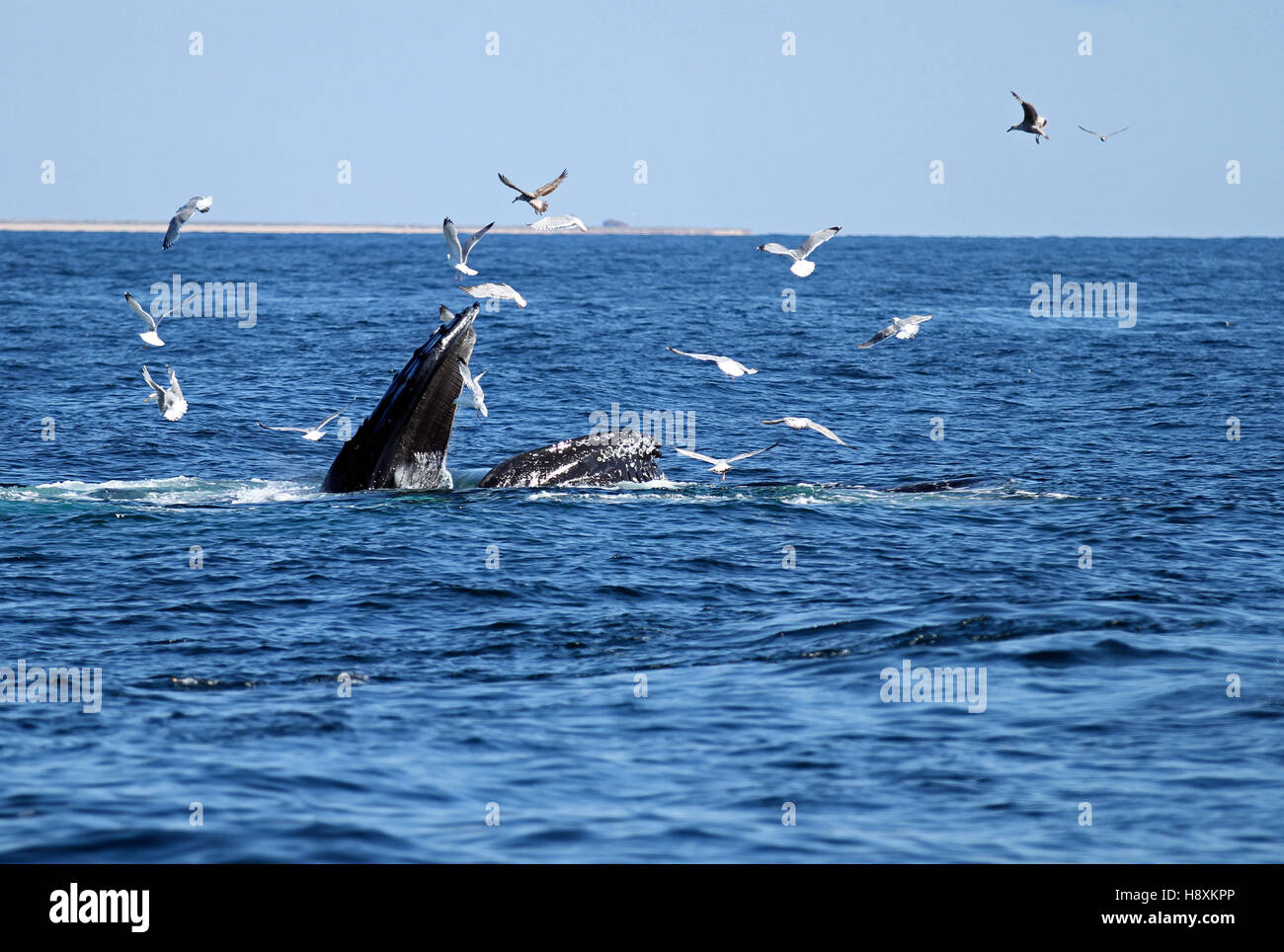 Humpback whale (Megaptera novaeangliae) bubble-net feeding at Stellwagen Bank National Marine Sanctuary while sea Stock Photo