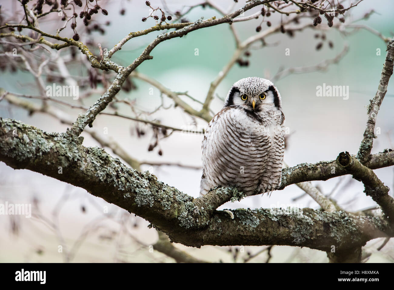 The Northern Hawk Owl (Surnia ulula)  is a daylight hunter. Here focused on the target, you. - Stock Image