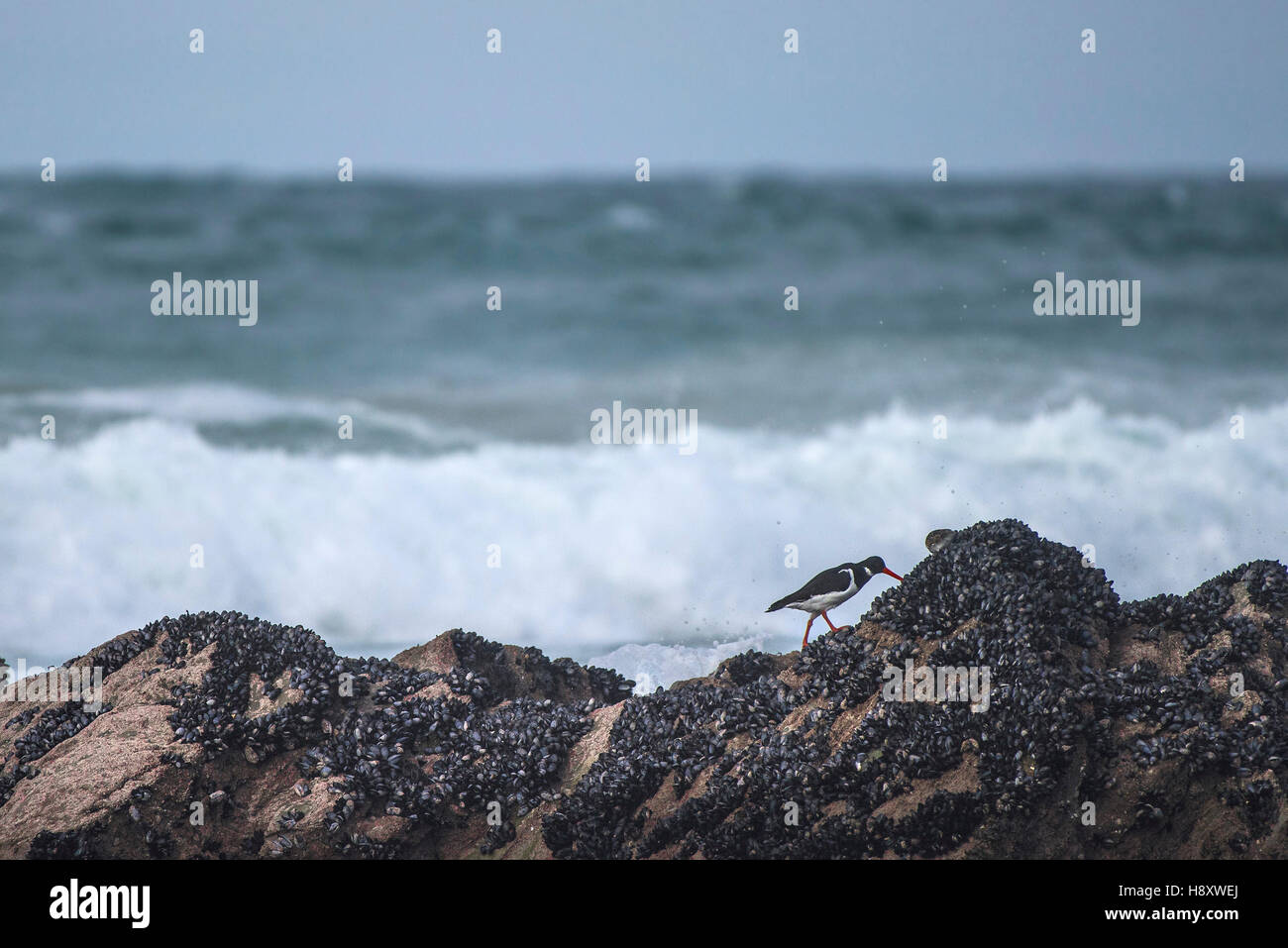 An Oystercatcher, Haematopodidae, feeding on mussels on a rock at Fistral Beach in Newquay, Cornwall. - Stock Image