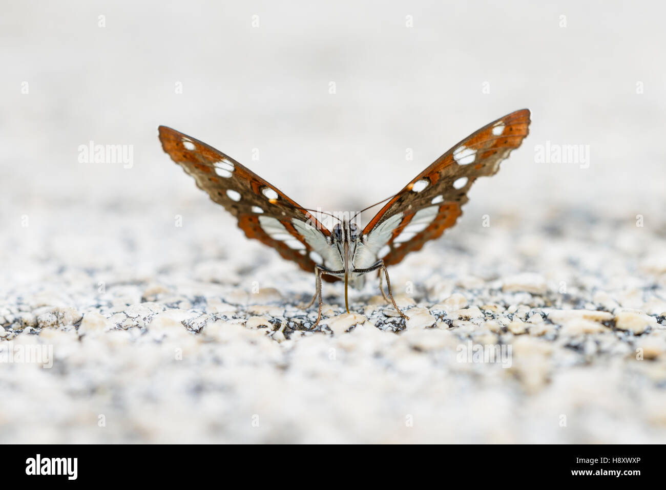 Blauschwarzer Eisvogel, Limenitis reducta, Southern White Admiral Butterfly - Stock Image