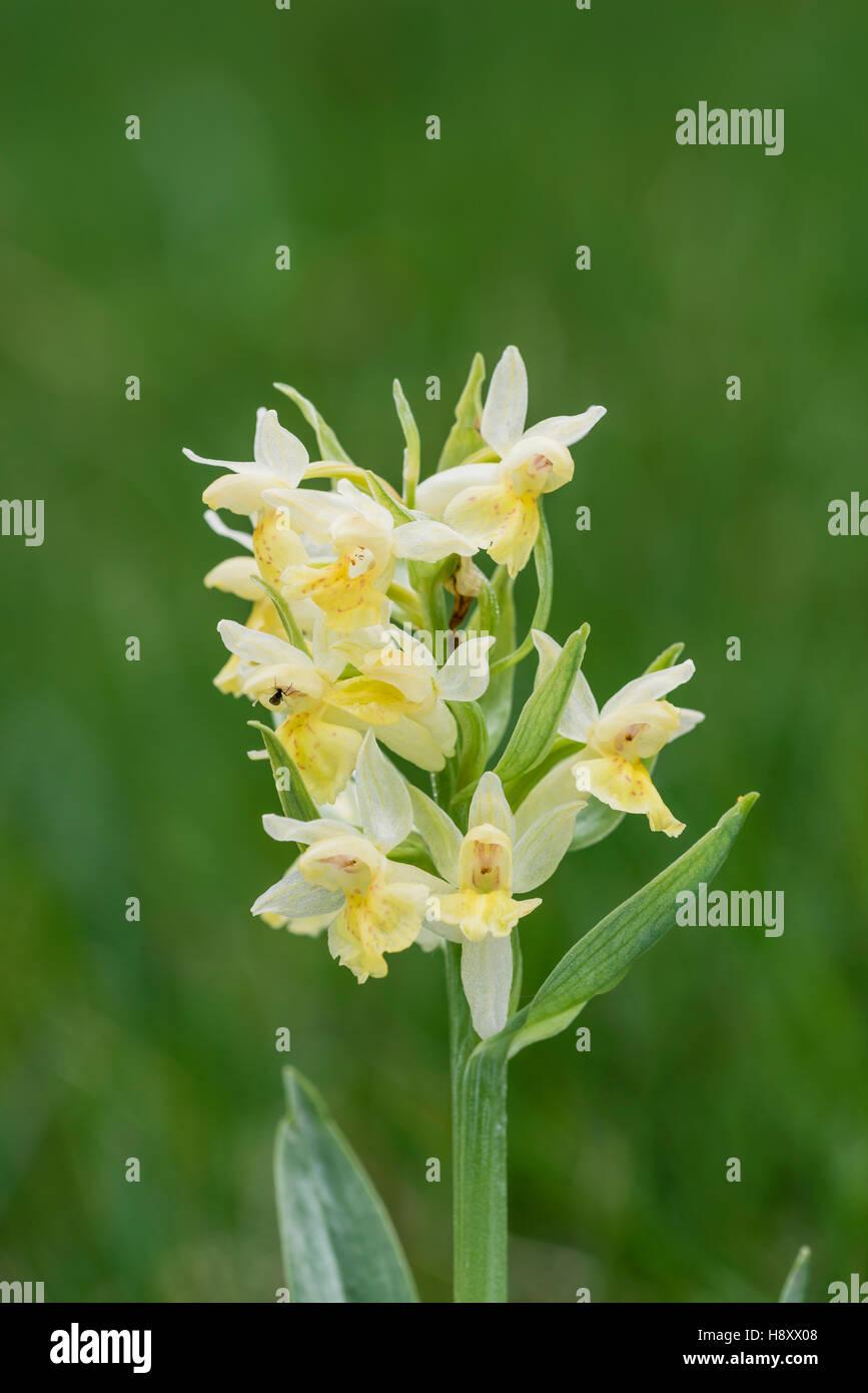 Holunder Knabenkraut, Dactylorhiza sambucina, Elder flowered Orchid - Stock Image