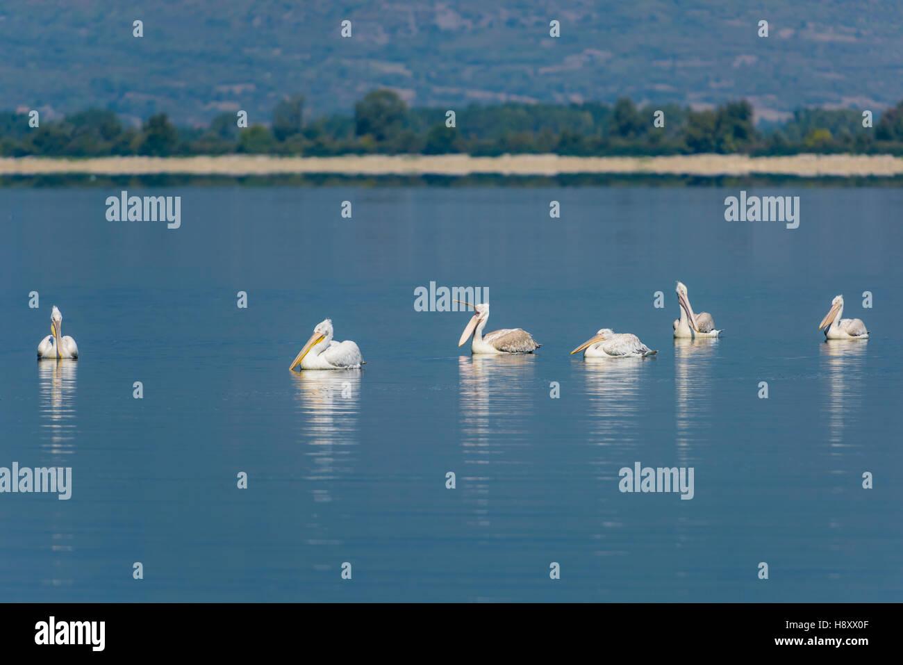 Krauskopf Pelikan, Pelecanus crispus, Dalmatian Pelican Lake Kerkini - Stock Image
