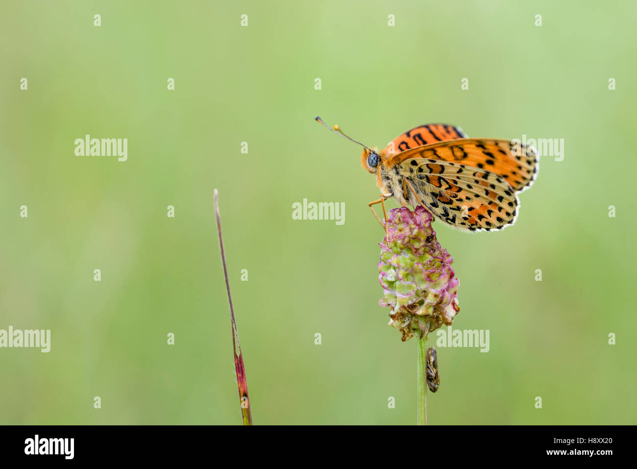Roter Scheckenfalter, Melitaea didyma, The spotted fritillary or red-band fritillary - Stock Image