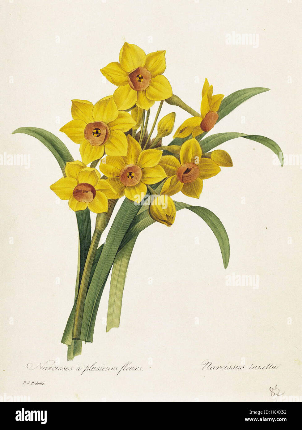 Pierre-Joseph Redoute   Narcissus - Stock Image