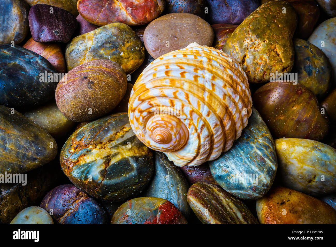 Seashell On River Rocks Stock Photo