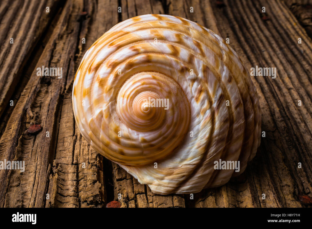 Sea Shell Study In Brown Tones - Stock Image