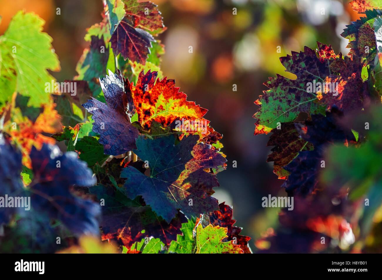 Feuille de vigne en Automne Provence France Aix en Provence - Stock Image