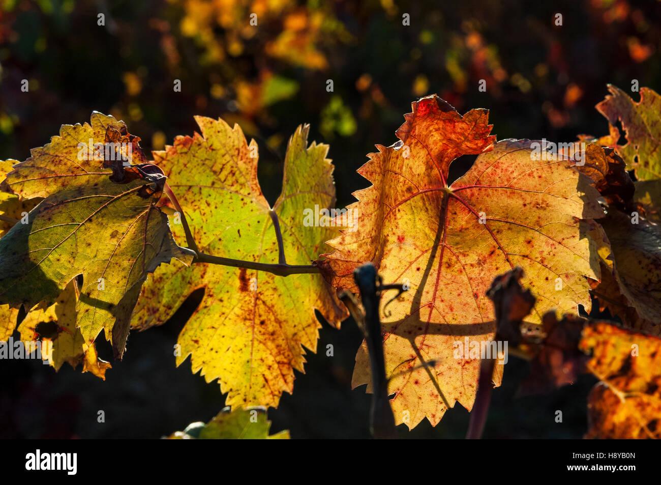 Feuille de vigne en Automne Provence France - Stock Image