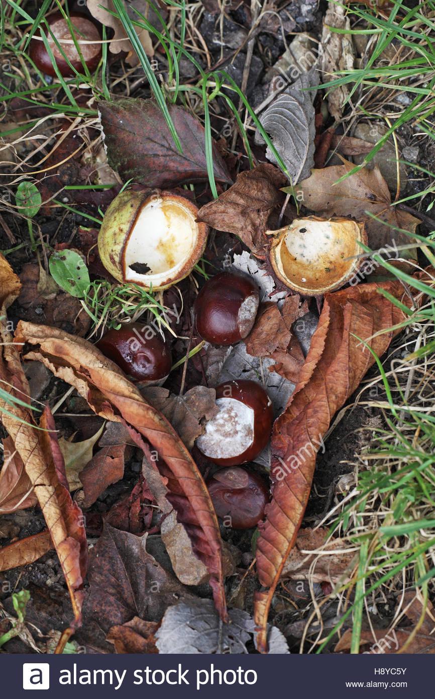 Horse chestnut Aesculus hippocastanum fruit - Stock Image